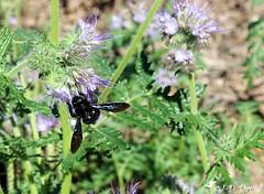 """Xylocope """"Abeille charpentière"""" (Jean-Daniel David) Tags: insecte insectevolant abeille abeillecharpentière xylocope noir fleur vert verdure plante nature réservenaturelle grandecariçaie cheseauxnoreaz champpittet yverdonlesbains suisse suisseromande vaud"""