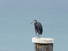 Airone schistaceo - Egretta Gularis (2) (riccardof55) Tags: uccelli birdwatching aironeschistaceo lazise