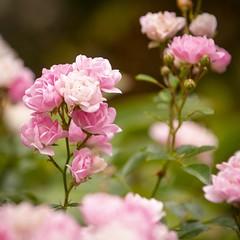 Little roses (Martin Bärtges) Tags: macrophotography macro makrofotografie nikon nikonfotografie blumen blüten blossom flowers roses
