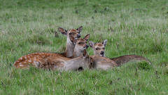 DSC_1849.jpg (dan.bailey1000) Tags: cork wildlife ireland sika deer donerailepark
