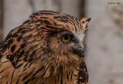 Walsrode, Weltvogelpark, Sunda-Fischuhu (joergpeterjunk) Tags: walsrode weltvogelpark outdoor tier vogel eule schärfentiefe canoneos50d canonef100400mmf456lisusm sundafischuhu