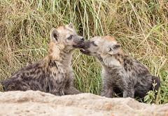 Hyena Cubs - Crocuta crocuta (rosebudl1959) Tags: 2018 kenya masaimara zebraplains hyenacubs june