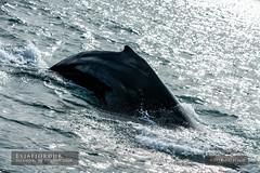 Eyjafjörður (Obliot) Tags: 2018 balena immersione obliot animali sony mare a7riii estate iceland dorso nord onde pinna a7r3 ale natura riflessi spruzzi