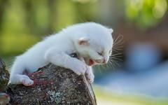 kittens II (03) white (Vlado Ferenčić) Tags: catsdogs cats animalplanet vladoferencic animals vladimirferencic kittens zagorje hrvatska croatia klenovnik nikond600 tamron9028macro dof bokeh
