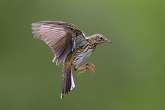 Meadow Pipit (Simon Stobart - Back But Way Behind) Tags: meadow pipit anthus pratensis flying northeast england uk naturethroughthelens