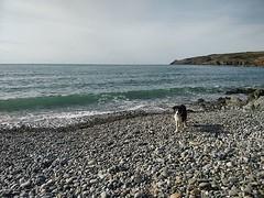 Stormin kaulapannassa luki että jättäkää minut rannalle, löydän kotiin omia aikojani. Kivaa on elellä rantakoirana #wales #abermawr