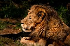 Male Lion Profile 3-0 F LR 8-5-18 J058 (sunspotimages) Tags: animal animals lion lions malelion malelions nature wildlife zoo zoos zoosofnorthamerica cat cats bigcat bigcats nationalzoo fonz fonz2018