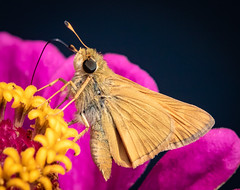 Skipper on Zinnia. (tresed47) Tags: 2018 201808aug 20180827homemacro august butterflies canon7dmkii chestercounty content folder home insects macro pennsylvania peterscamera petersphotos places season skipper summer takenby technical us