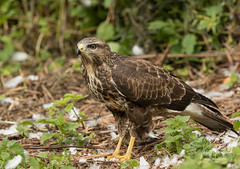 Common Buzzard (Ian howells wildlife photography) Tags: birdofprey buzzard ianhowells ianhowellswildlifephotography nature naturephotography nationalgeographic canon canonuk wildlife wildlifephotography wales wild wildbird
