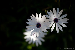 Capturing light (leendert3) Tags: leonmolenaar southafrica nature flowers capedaisy ngc coth5 npc