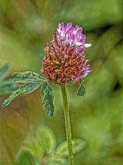 Un as ! (Jean-Marie Lison) Tags: eos80d sigma105mm bruxelles anderlecht neerpede fleursauvage trèfle macro