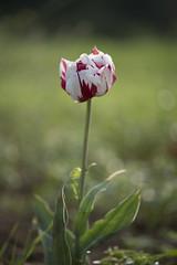 Isolée (Titole) Tags: tulip titole nicolefaton shallowdof