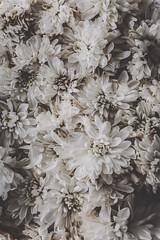 (Rebecca Skye Watson) Tags: flowers crysanthemum pale stilllife soft quotes