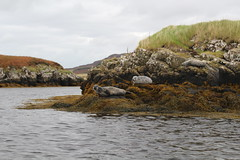 seals near Dunvegan castle (NengHetty) Tags: dunvegan castle dunvegancastle skye scotland highlands commonseal seal mammal marine caistealdhùinbheagain dhùinbheagain animal harbourseal harborseal canoneos100d rebelsl1