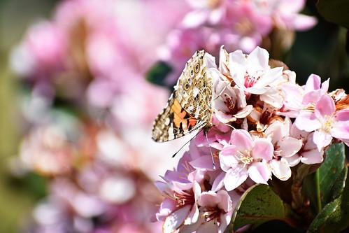 Skoenlapper / Butterfly 3