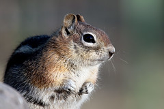 Posing for a Portrait -- Golden-mantled Ground Squirrel (Spermophilus lateralis); Santa Fe National Forest, NM, Thompson Ridge [Lou Feltz] (deserttoad) Tags: nature newmexico animal rodent mammal fauna squirrel groundsquirrel behavior nationalforest mountain