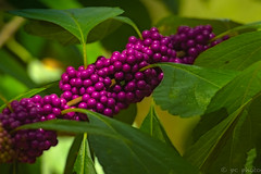 BEAUTYBERRY (Explore) (pattycphotography) Tags: edible fruits amethystcolored amethyst autumn autumncolors purple green yellow trees berries natural nature colors light macro