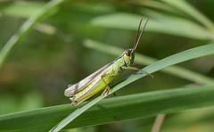 Grasshopper (thegrolffalo) Tags: insect animal nature naturalhistory nikond850 nikon105mm macro depthoffield hautesavoie france grasshopper