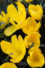 Sternbergia lutea (Owl Prints) Tags: mygarden sternbergialutea bulbs yellowflowers yellow