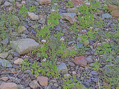 CAE018339a (jerryoldenettel) Tags: 180812 2018 brassicales capparidaceae clammyweed cleomaceae lunaco nm polanisia polanisiadodecandra rosids springcanyonstatepark wildflower flower