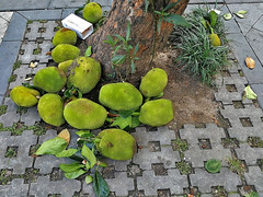 Jack Fruit (Shimoken) Tags: china shinzhen jackfruit tree