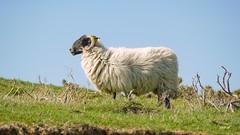 P1320583 (Denis-07) Tags: brebis mouton animal