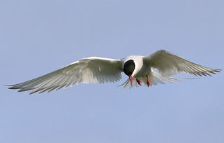Arctic Tern about to dive for its prey