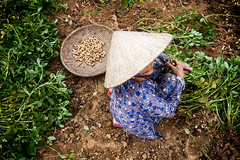Peanuts job (Asian Hideaways Photography) Tags: harvest peanuts old lady conical hat vegetagle vietnam vietnamese vietnampeople peasant countryside campaign work