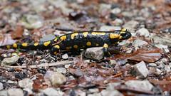 Feuersalamander (Aah-Yeah) Tags: feuersalamander salamander salamandra salamandridae caudata schwanzlurch achental chiemgau bayern