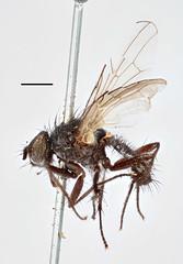 Aricia lineariventris Zetterstedt, 1845 (Biological Museum, Lund University: Entomology) Tags: diptera zetterstedt anthomyiidae aricia lineariventris mzlutype00384 taxonomy:binomial=aricialineariventris delia