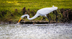 Great White Heron on the Hunt (Robert Jackson Photography) Tags: robertjacksonphotography bird nikkor200500mmf56 wildlife nikon nikond750 nikkor photography