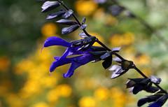 Salbei, Zier- / sage (salvia) (HEN-Magonza) Tags: botanischergartenmainz mainzbotanicalgardens rheinlandpfalz rhinelandpalatinate deutschland germany flora ziersalbei sage salvia