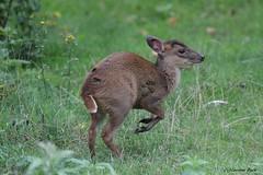 Bébé muntjac de Reeves (Passion Animaux & Photos) Tags: muntjac reeves reevessmuntjac muntiacus reevesi parc animalier saintecroix france