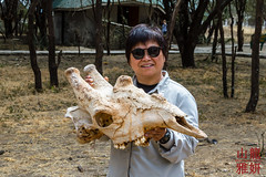 Mrs Dragonspeed and a Giraffe Skull (DragonSpeed) Tags: 28thkitsilanoscoutgroup 28thvancouverscoutgroup africa africanwildcatsexpeditions giraffacamelopardalistippelskirchi maasaigiraffe masaigiraffe safari scouts tanzania tanzaniaexpedition2018 tarangirenationalpark venturerscouts venturers mammal skull manyara tz