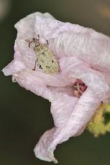 Macrorhoptus (carlos mancilla) Tags: insectos escarabajos beetles gorgojos weevils canoneos550d canoneosrebelt2i ef100mmf28macrousm macrorhoptus curculionidae curculioninae