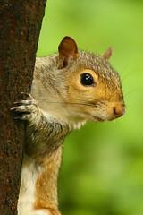Eastern-gray-squirrel-25w (egdc211) Tags: canon connecticutwildlife wildlife willingtonwildlife naturewatcher nature newenglandwildlife newenglandwildlifephotography outdoors squirrel animal