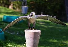 Falcon (alph@ wolf) Tags: falcon falke bird raubvogel predator animal alphawolf photo pentax photography pentaxart pentaxk1