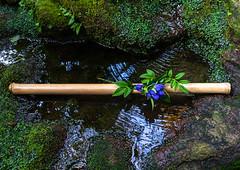 Bamboo stick with blue flowers on a pond in a japanese garden, Ishikawa Prefecture, Kanazawa, Japan (Eric Lafforgue) Tags: asia bamboo beautyinnature colorimage day domesticgarden flower gardening hokuriku horizontal idyllic ishikawaprefecture japan japan18562 kanazawa landscaped lifestyles lush moss nagamachi nature nippon nopeople nomura orientalgarden outdoors photography pond samurai tranquilscene tree water