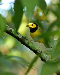 Hooded Warbler (Setophaga citrina) (Mary Keim) Tags: taxonomy:binomial=setophagacitrina centralflorida marykeim cwh