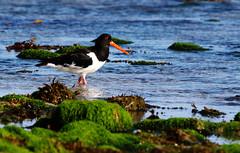 Oystercatcher. (Chris Kilpatrick) Tags: chris canon canon7dmk2 outdoor wildlife nature bird oystercatcher douglas beach isleofman water sigma150mm600mm springwatch