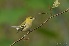 Fine, I'm stumped... (Earl Reinink) Tags: stumped bird branch tree autumn fall songbird warbler earl reinink earlreinink hetdtaedza