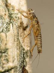 Stonefly Exuviae (treegrow) Tags: newzealand nature lifeonearth raynoxdcr250 insect arthropoda plecoptera