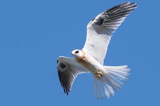 DSC_3253.jpg White-tailed Kite, Natural Bridges