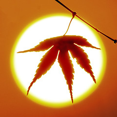 Just a maple leaf (Robyn Hooz) Tags: maple sole sorgere leaf foglia controluce silouette gambo peach ramo branch padova luce sundisk disco