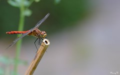 Libelle - Dragonfly (Nancy V.) Tags: libelle dragonfly insect nature natuur garden plant wings fujifilmmcex16