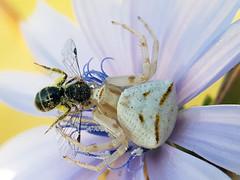 DEATH TRAP (Pedro Muñoz Sánchez) Tags: araña abeja thomisus onustus