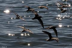 becasseau variable 57 (dmes55) Tags: dune oiseau bretagne bécasseau