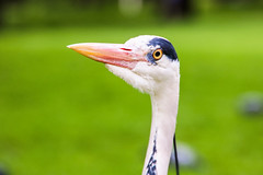 Do you want to say something? (Yuri Dedulin) Tags: eu europe landscape london travel uk yuridedulin united kingdom white bird birding freshwater birdwatch recreational observation kensington pond park green 2018 yuri dedulin heron nature portrait