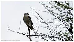 Black-winged kite (कपासी) / Elanus caeruleus (jhureley1977) Tags: blackwingedkite कपासी elanuscaeruleus birds birding birdsofindia birdsindia ashjhureley avibase naturesvoice bbcspringwatch rspbbirders orientbirdclub ashutoshjhureley rspb