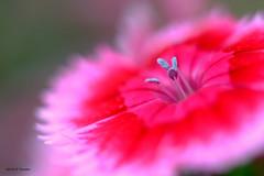 oeillet de chine (jpto_55) Tags: oeillet oeilletdechine fleur bokeh macro fuji fujifilm omlens om50mmf2macro commercy meuse lorraine france